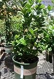 Key Lime Tree Two Gallon Plant