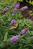"""Bring Home the Butterflies/Butterfly Bush Plant Collection - 3 Plants in 4"""" Pots"""
