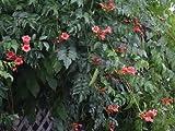 FES Quintessentials Flower Essences Services Trumpet Vine 30ml Dosage