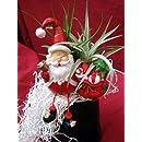Living Christmas Ornament - Santa Claus - Air Plant - Tillandsia