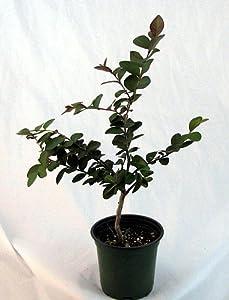"Crape Myrtle 'Tightwad' Tree - Red Flowers - 4"" pot"