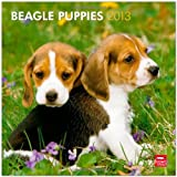 Beagle Puppies 2013 Square 12X12 Wall Calendar
