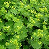 Alchemilla Mollis, Lady's Mantle x 3 large plug plants, AGM merit award