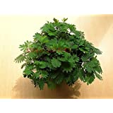 100 Bashfulgrass Seeds,Mimosa Pudica Linn, Foliage Mimosa Pudica Sensitive RARE Flower For Home Garden