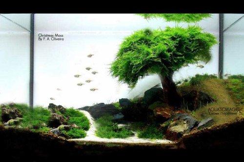 Christmas Moss - Live Aquarium Aquatic Plant for Fish Tank