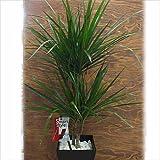 観葉植物 ドラセナ マジナータ 爽やかでスタイリッシュ インテリアグリーン