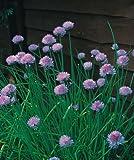 Herb - Chives Medium Leaved - Allium schoenoprasum - 400 Seeds - Economy Pack