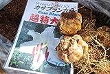 秋植え球根 オリエンタルユリ カサブランカ(超特大球) 2球セット   【送料込】