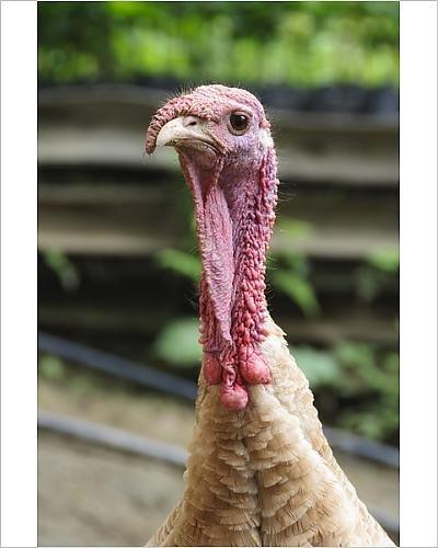 Domestic turkey, closeup