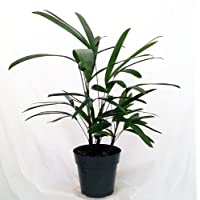 Lady Palm - Rhapis excelsa - Easy to Grow House Plant