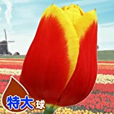 国華園 チューリップ球根 特大球 赤黄2色咲チューリップ 50球