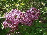 Syringa hyacinthiflora - Lilac Tree 'Pocahontas'