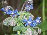 200+ Borage Seeds- Heirloom Herb Variety