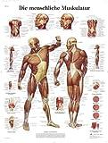 3B Scientific VR0118UU Die menschliche Muskulatur