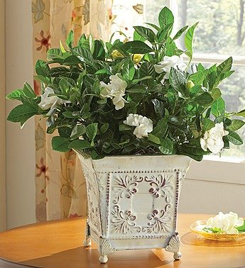 1-800-Flowers – Grand Gardenia for Sympathy – Large By 1800Flowers
