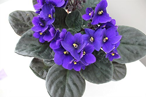 blu-o-viola-viola-africana-ideale-houseplant-confezione-regalo-e-consegna-rapida-piena-di-fiori-e-du