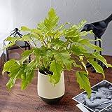 観葉植物「クッカバラ・ライム」インテリアグリーン 日比谷花壇