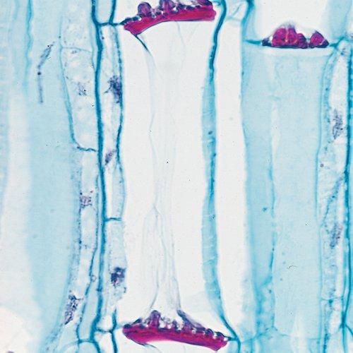 Pumpkin Stem, L.S., 12 Μm Microscope Slide