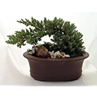 Large Japanese Juniper Bonsai Growing in Oval Ceramic Pot - 7