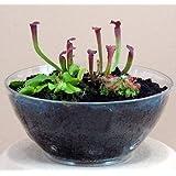 Carnivorous Terrarium with Live Plants ~ Hirt's Gardens