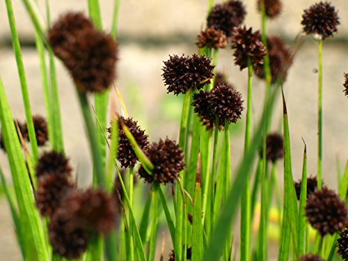 Hardy Perennial / Marginal Pond Plant - Juncus Ensifolius x 50 - 2014 Fresh Seeds