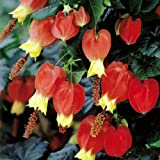 Abutilon megapotamicum Belgian Flag - 2 shrubs