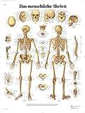 3B Scientific VR0113UU Das menschliche Skelett