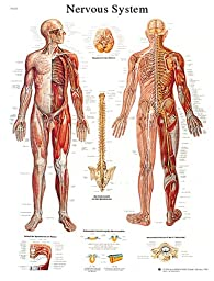 Anatomical chart: nervous system chart, laminated
