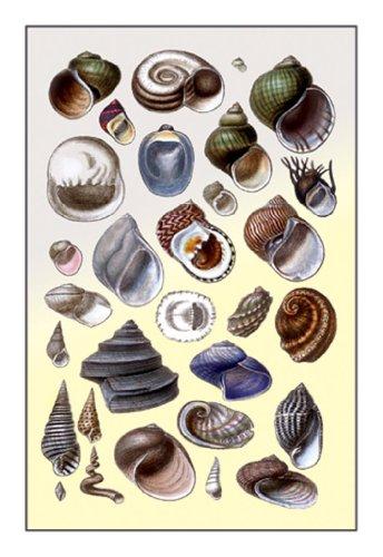 Shells: Trachelipoda #2, By G.B. Sowerby, 12X18 Paper Giclée