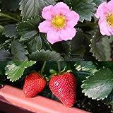 イチゴ:四季なりいちご桃娘3号ポット4株セット[春~秋まで収穫できる][MPS]