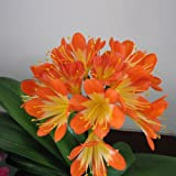 5PCS Clivia Miniata Seeds Dust Collector Plant