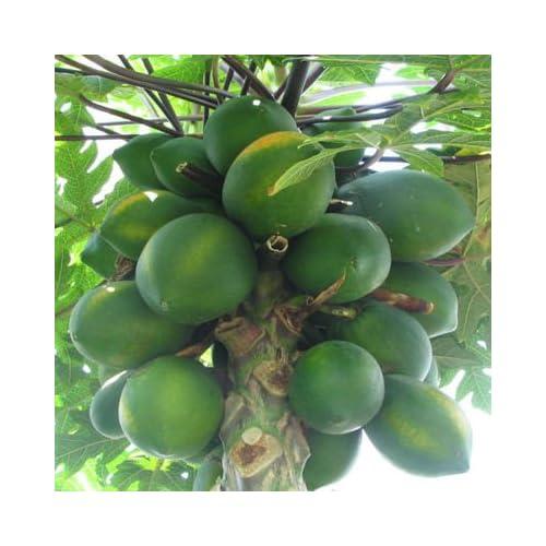 giant CARICA PAPAYA 50 seeds : Tree Plants : Patio, Lawn & Garden