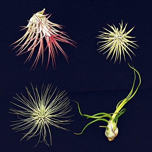 4-different-tillandsias-air-plants