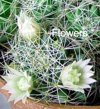 Buy Bird's Nest Cactus-Mammillaria camptotricha-White Bloom