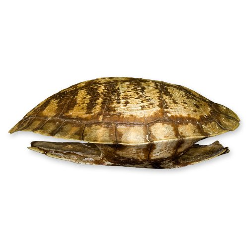 Pond Turtle Shell 4 7 Inches Natural Bone Quality A