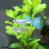(熱帯魚)ブルーグラスグッピー(国産グッピー)(1ペア) 本州・四国限定[生体]