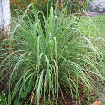 Outsidepride Lemon Grass - 50 Seeds