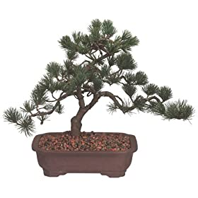 Brussel's Japanese Five Needle Pine Outdoor Bonsai Tree