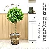 【鉢カバーセット】まんまる仕立てのベンジャミン トピアリー8号♪お洒落な鉢カバーD、受け皿付