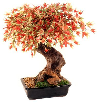 japanese maple bonsai tree. japanese maple bonsai tree.