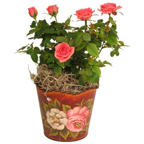 tea rose planter 4 inches   with roses   buy live plant   tea rose