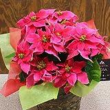 プリンセチア鉢植え かわいい感じの「ローザ」 ピンクでお洒落 お歳暮・誕生日プレゼント・お祝いなど花ギフト