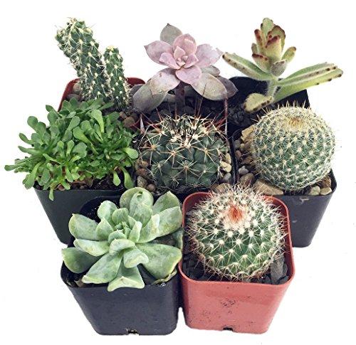 instant-cactus-succulent-collection-8-plants-2-pots
