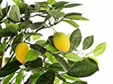 "Closer to Nature Artificial 3ft 3"" Lemon Tree - Artificial Silk Plant and Tree Range"