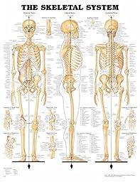 Skeletal System Chart - 20x26