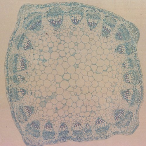 Alfalfa Stem, C.S., 12 Μm Microscope Slide