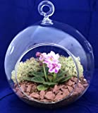 Round Hanging Mini Violet Terrarium Kit - Great Gift! - Easy to Grow - 5