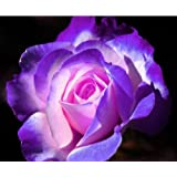 blue and pink rose!5 seeds!must have!