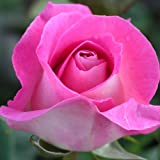 ROSE CLIFF RICHARD-Ideal Christmas, Birthday Plants & Flower Gifts For Mum,Mom,Mother,Her,Granny,Gran,Grandma