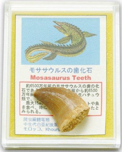ケース標本 モササウルスの歯
